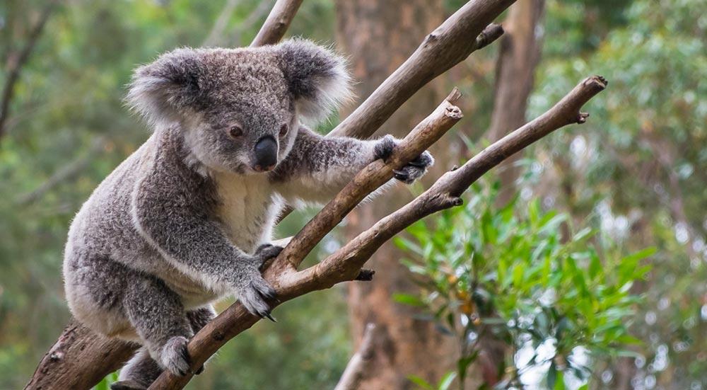 Koala in de bomen van Australië