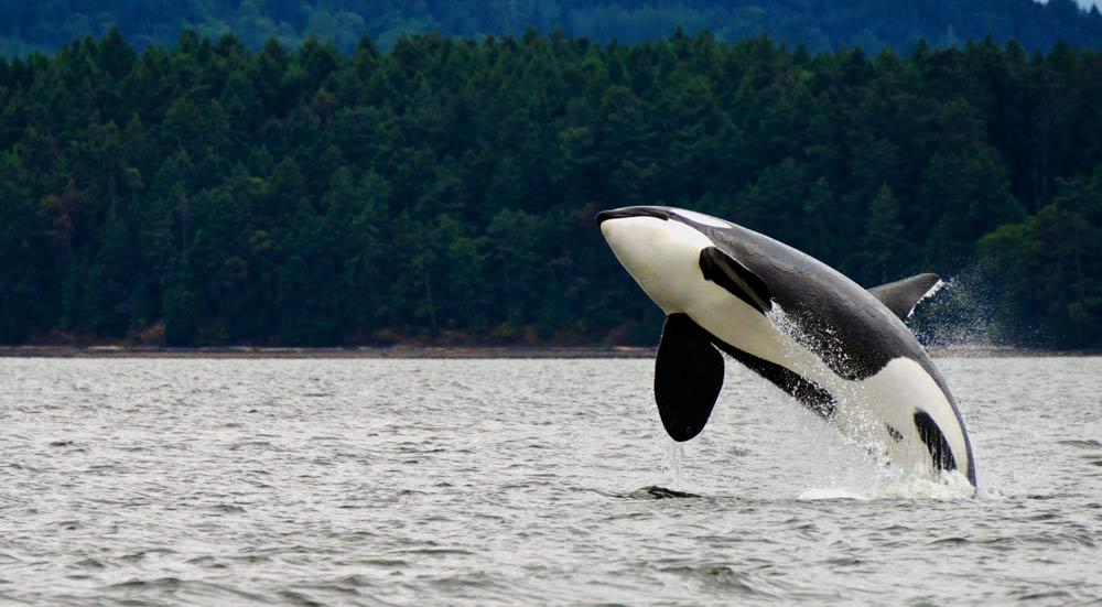 orka in het water van Canada