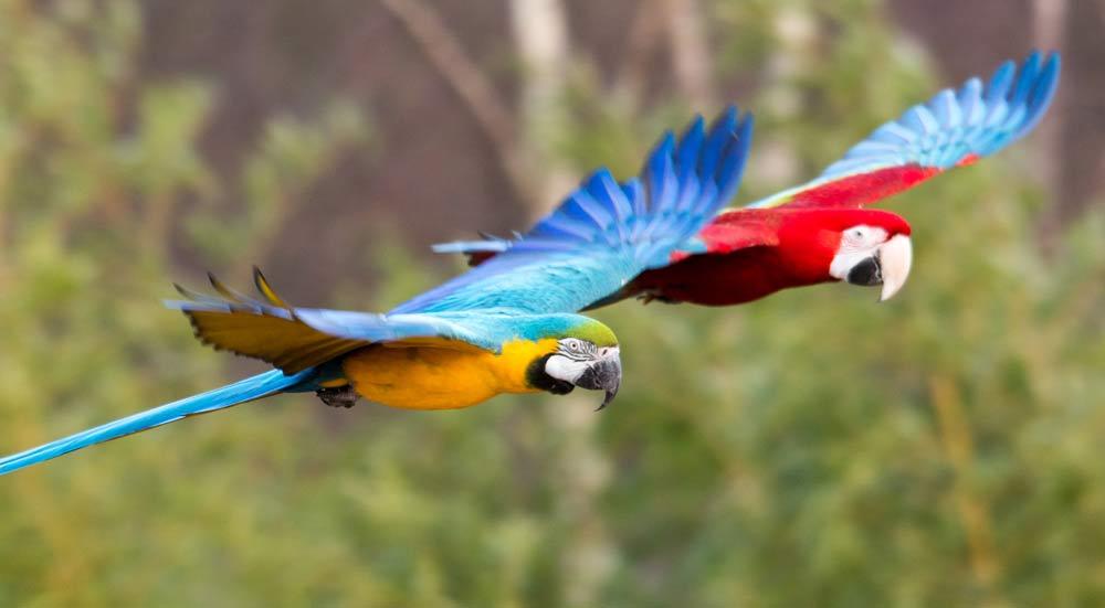 De ara, bekendste papegaaiensoort