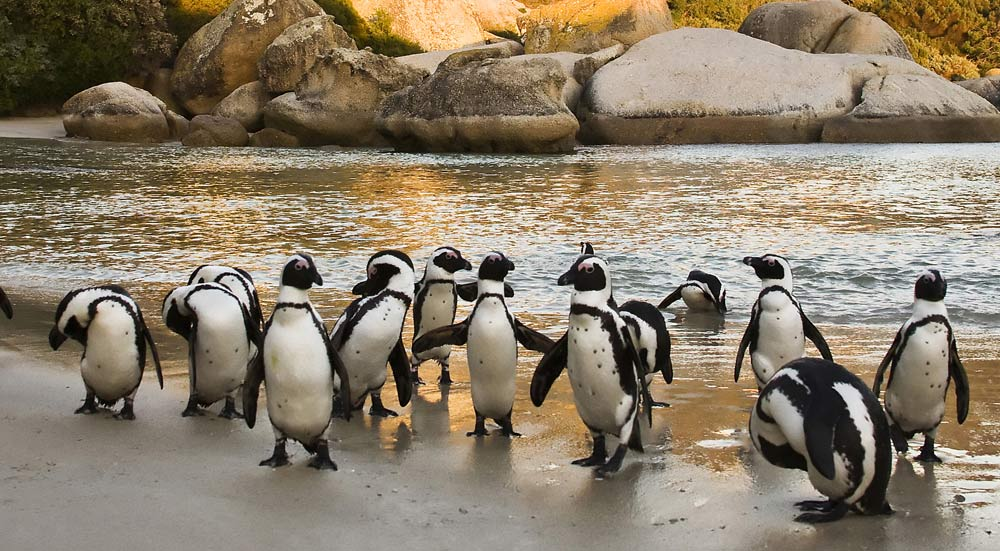 Pinguins op het strand van Boulders Beach