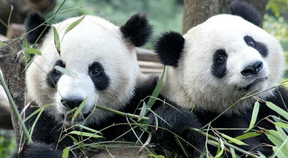 De reuzenpanda in China