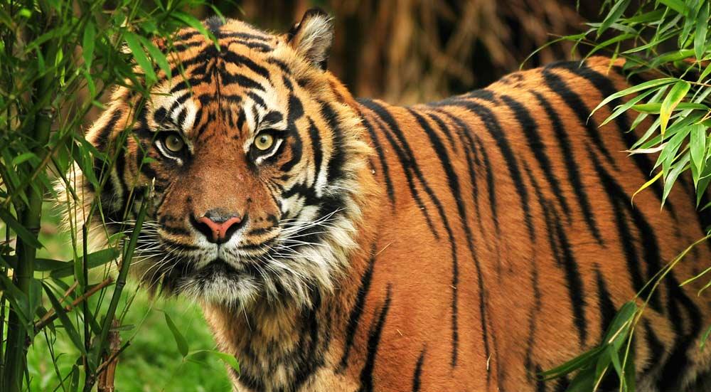 Tijger in de jungles van India