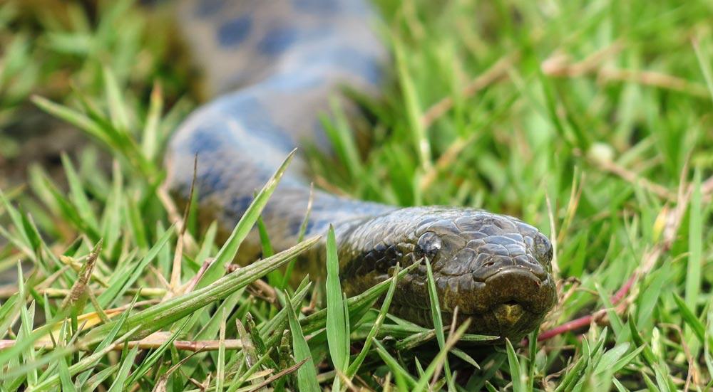 Een anaconda in het gras