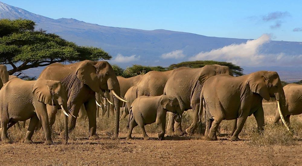Een kudde Afrikaanse olifanten