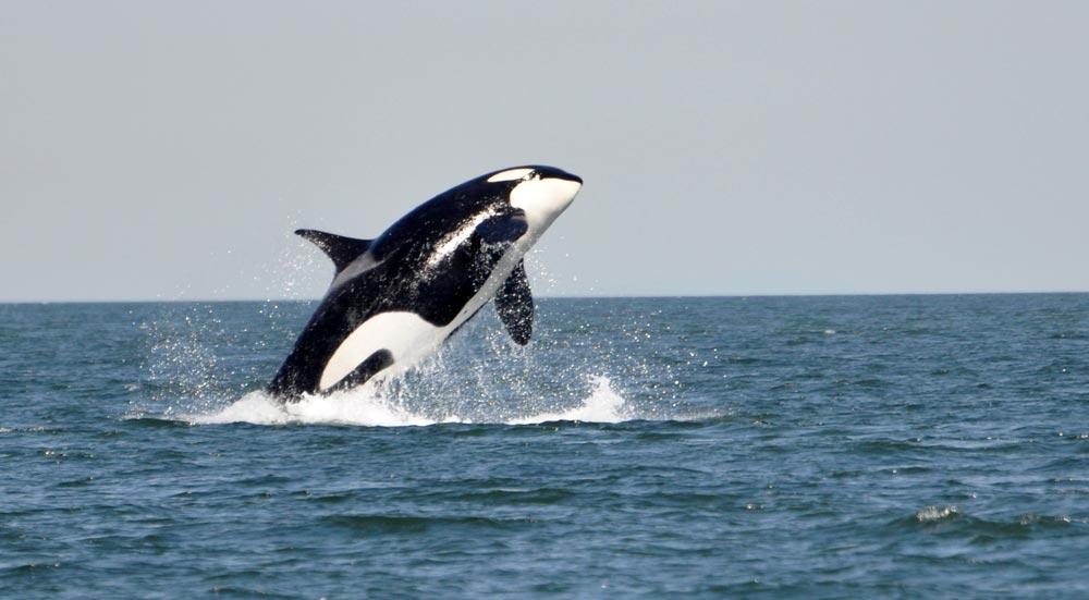 Een orka springend uit het water