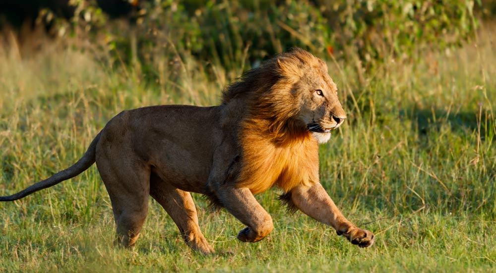 Een rennende leeuw