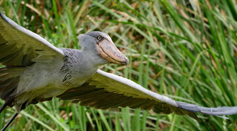 Schoenbekooievaar: een vreemde vogel