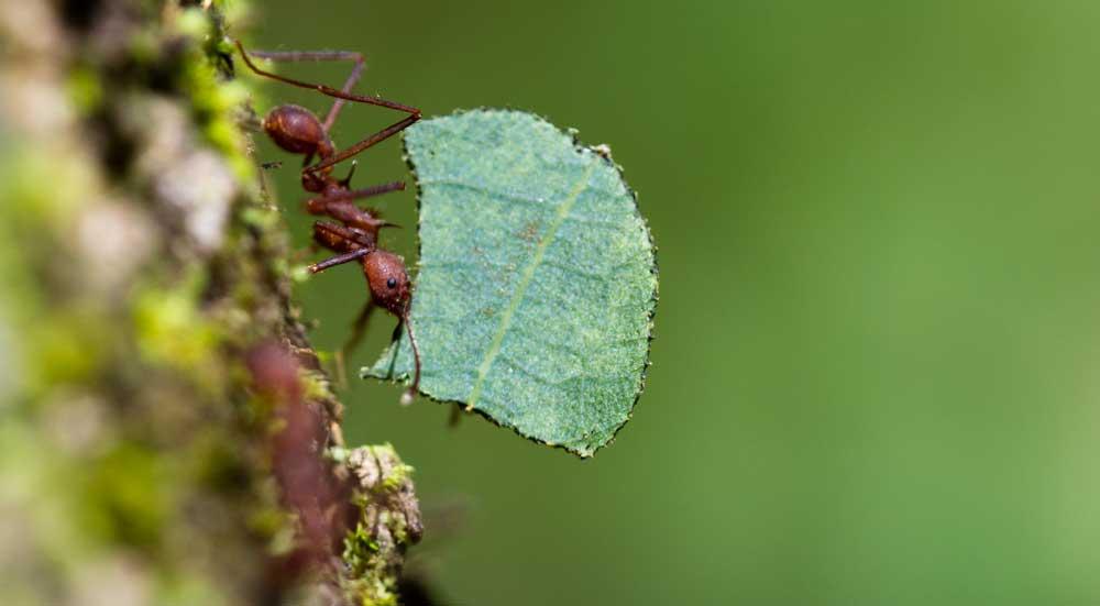 Closeup van een bladsnijdersmier die een blad naar het nest draagt.
