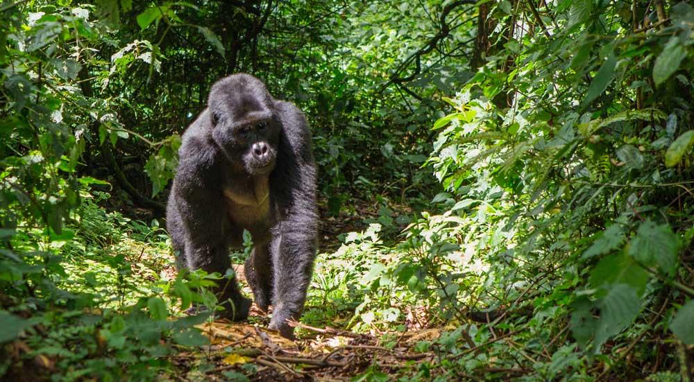 Berggorilla in het regenwoud van Bwindi Impenetrable Forest National Park, Oeganda
