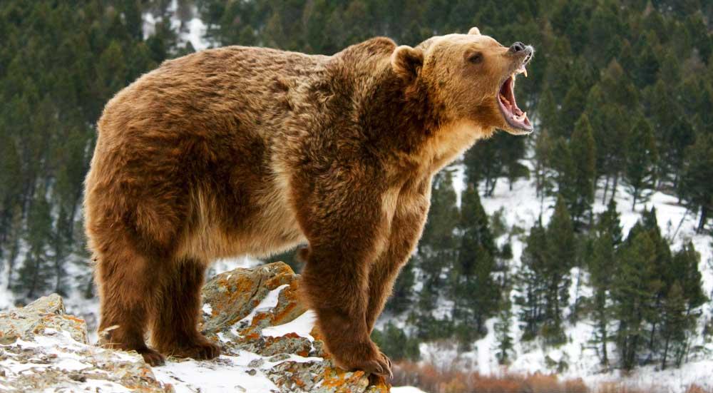Grizzlybeer, grommend op een besneeuwde rots