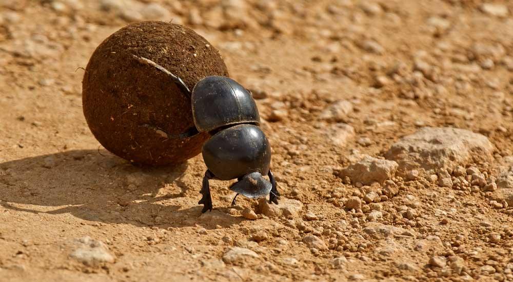 Mestkever duwt een bolletje mest in Addo Elephant National Park, Zuid-Afrika.