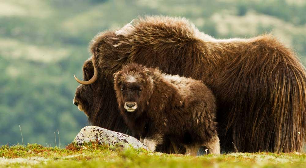 Een muskusos gezin in de besneeuwde bergen van Noorwegen