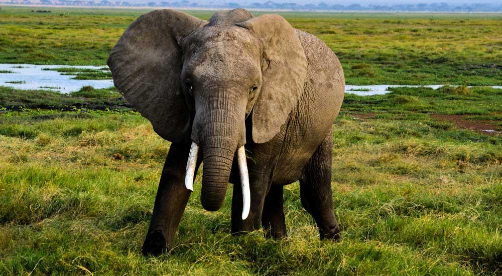 Een sterke mannetjesolifant loopt richting camera in Afrika