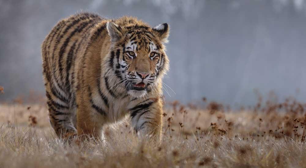 De reusachtige Siberische tijger