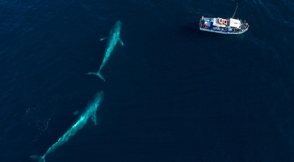 De blauwe vinvis met kalf, vlakbij een boot