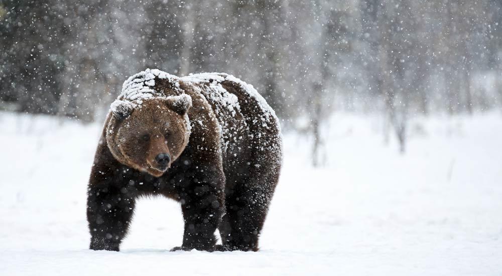 Bruine beer in de sneeuw, Finland