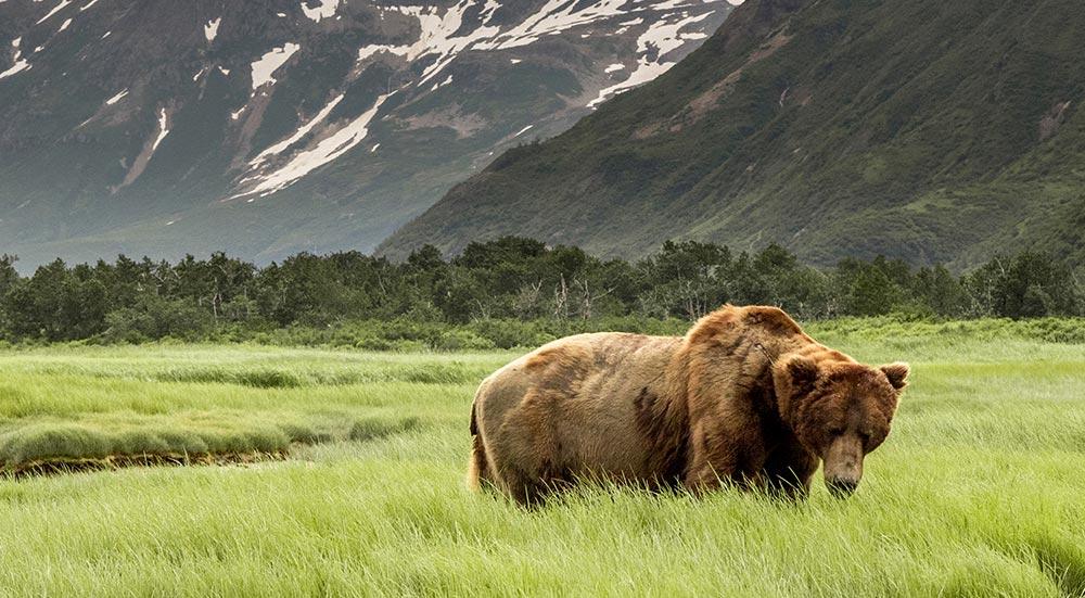 Grizzlybeer in Alaska