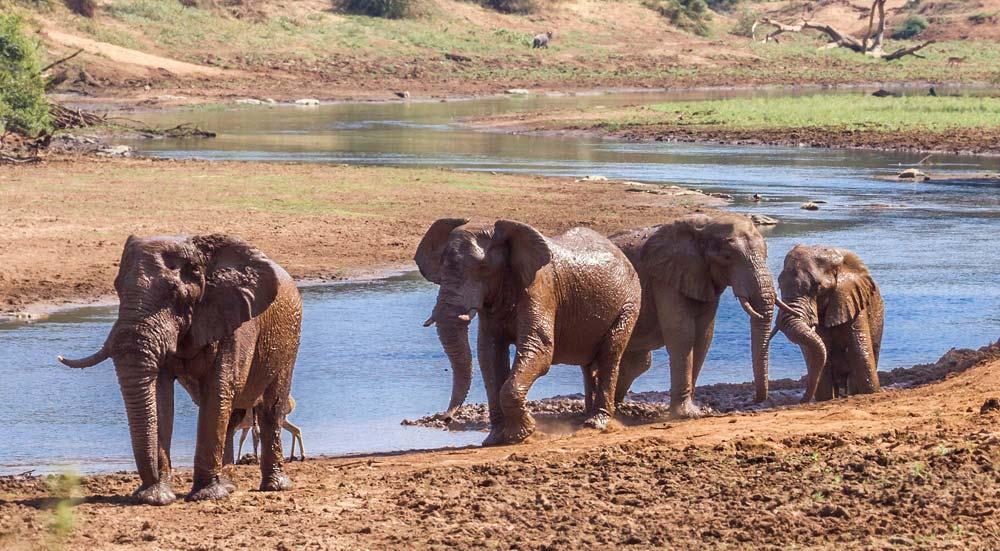 Olifanten in het Kruger National Park, Zuid-Afrika