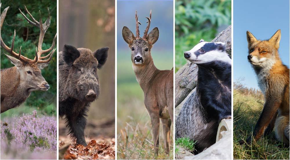 De big five van Nederland: edelhert, wild zwijn, ree, das en vos