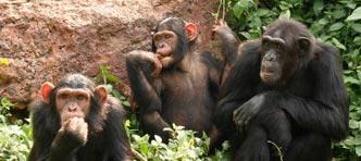 Tenzing Travel | Rondreis Oeganda Chimpansee