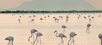 SNP | Flamingo's Camargue