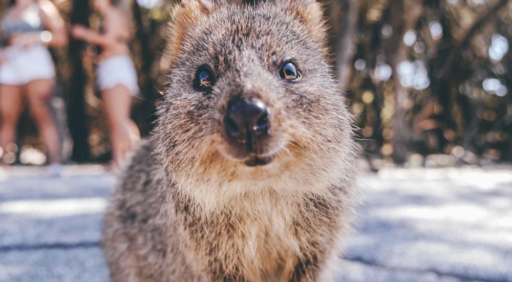 Quokka in Australië