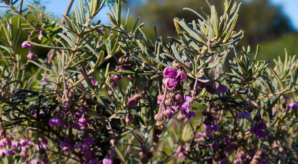 Guichenotia struik in Australië
